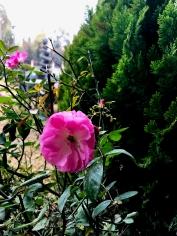 A rose blooms in Erbil..